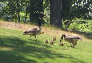 geese31.JPG
